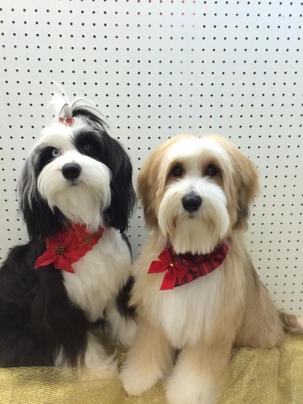 Tibetan Terrier Puppies For Sale Minneapolis Mn Tibetan Terrier Terrier Puppies Terrier