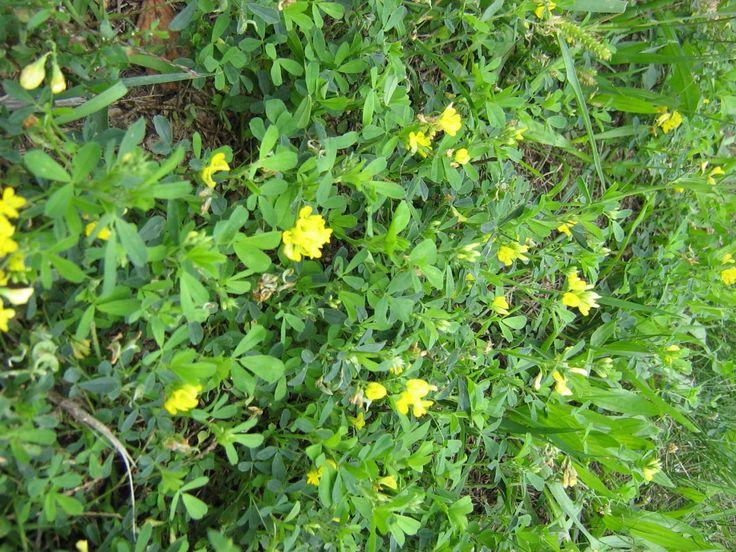 Komonicaa Plants Herbs