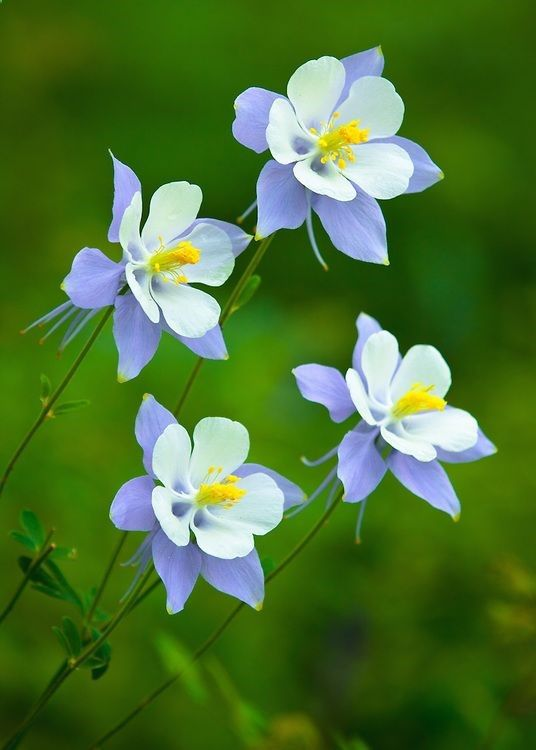 'four sisters' Columbines by Adam Schallau