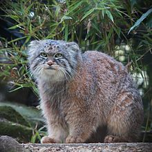 Pallas's cat (Otocolobus manul), also called the manul, is a small(5-8lbs.) wild cat having a broad but patchy distribution in the grasslands and montane steppe of Central Asia.