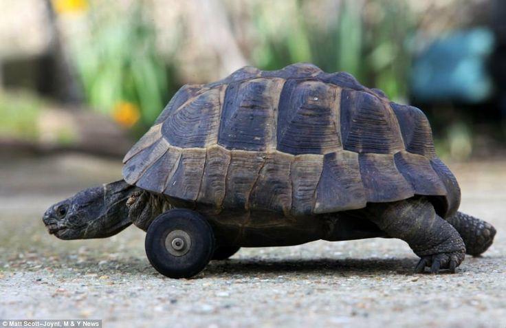 Tartaruga que teve patas dianteiras amputadas depois de serem roídas por ratos mostra superação e ganha rodinhas para movimentar-se