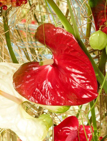 """Schnittanthurie : Exotische Blumenbeauties.  Die Verwendung dieses Bildes ist für redaktionelle Zwecke honorarfrei. Veröffentlichung bitte unter Quellenangabe: """"Fachverband Deutscher Floristen e.V./ Blumenbüro"""