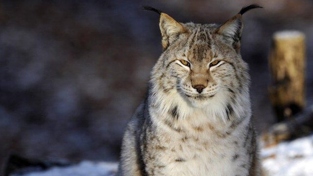 Newsround report on the lynx
