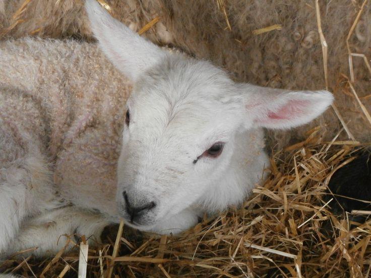 lambs, farm, close-up, cute