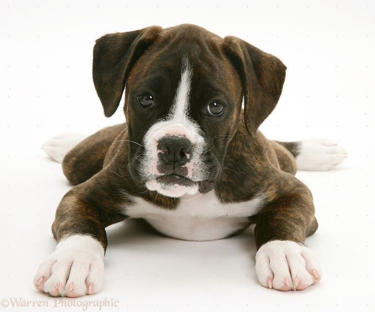 17 best images about i want a brindle boxer on for Brindle boxer