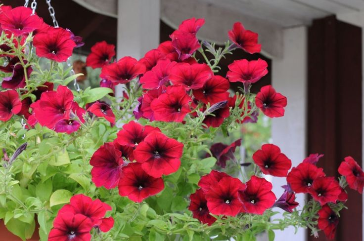 Hängpetunia F1 'Easy Wave Red Velour'. ntensivt rikblommande med 50-75 cm långa rankor täckta av 5-7 cm stora blommor i varmt sammetsrött från maj-oktober. Soligt läge.