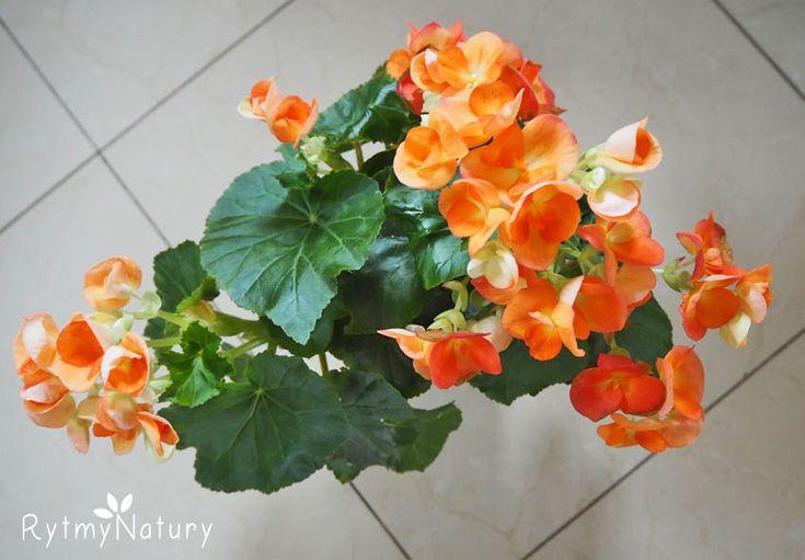 Jak uprawiać begonie aby cudownie zakwitały i problemów nie przysparzały?   #rytmynatury#kwiaty#begonie#dom#ogród#flower#flowers#garden#plants#rośliny