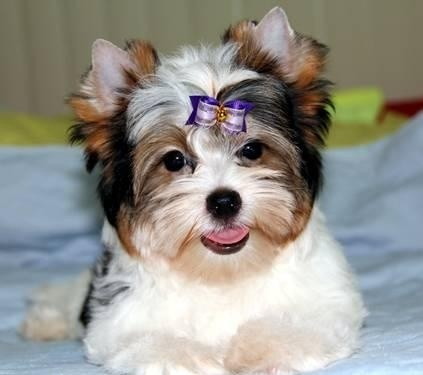 1000+ images about PARTI YORKIES!! on Pinterest