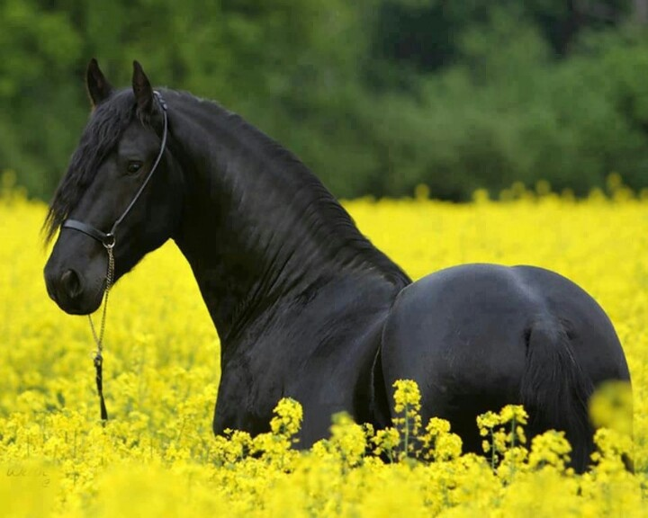 black beauty pferd