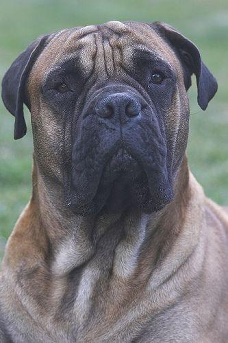 Max, my sisters English Bull Mastiff