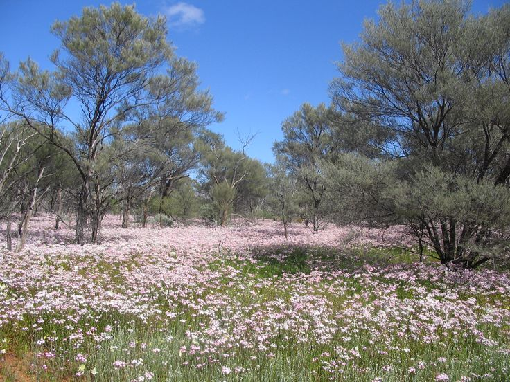 Everlasting's north of the Murchison settlement. Western Australia