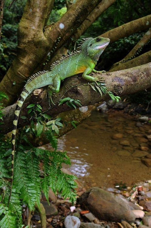 Physignathus cocincinus Chinese Water Dragon
