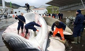 Icelandic whalers cut open a 35-tonne fin whale in 2009. In 2014, the Iceland whale hunt killed 137 fin whales and 24 minkes.