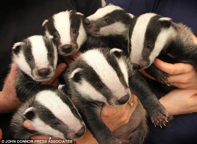 Cute baby badgers - my favorite English woodland creatures