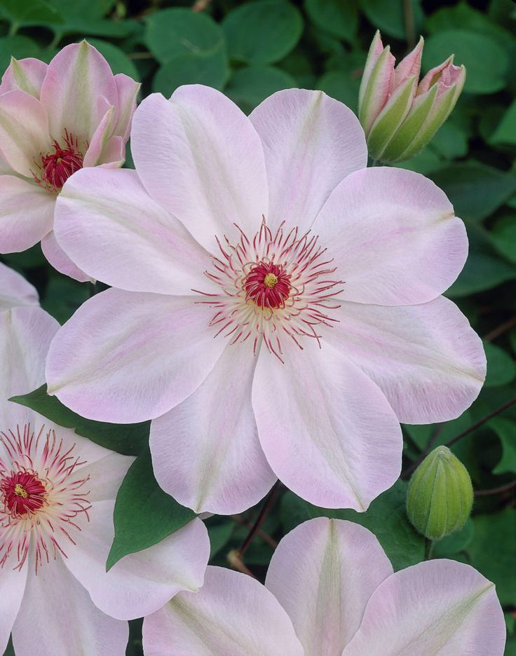 ~Clematis 'Dawn' - Feed your plants with GrowBest from http://www.shop.embiotechsolutions.co.uk/GrowBest-EM-Seaweed-Fertilizer-Rock-Dust-Worm-Casts-3kg-GrowBest3Kg.htm