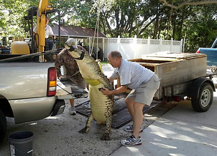 After A Four Hour Hunt Trappers Captured An American Crocodile In Lake Tarpon This
