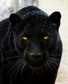 [Hermosa pantera negra - Las panteras negras pueden adaptarse a cualquier condición climática y sobrevivir al ambiente frío y al caliente. Esta es la razón por la que han sido capaces de sobrevivir incluso después de haber sido puestas en peligro por la destrucción de sus hábitats debido a la deforestación y la caza extrema.]