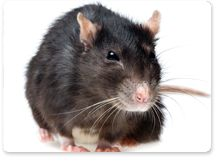 #DidYouKnow Rats have been proven to make a laughter-like noise (unable to be heard by the human ear alone) when tickled and dream while sleeping. Aerex technicians understand the habits of each rat species and use that knowledge when developing a rat control program, which is best suited to your home and your particular rat problem. Our technicians are professional, state certified, licensed applicators. Learn more: http://aerex.com/residential/rodents/rats/