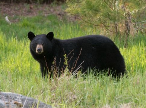 A video of trophy hunter Josh Bowmar killing a black bear with a spear sparked global media coverage and a resulting public outcry. Urge the Government of Alberta to ban trophy hunting and take immediate action to prohibit spears and the baiting of animals.