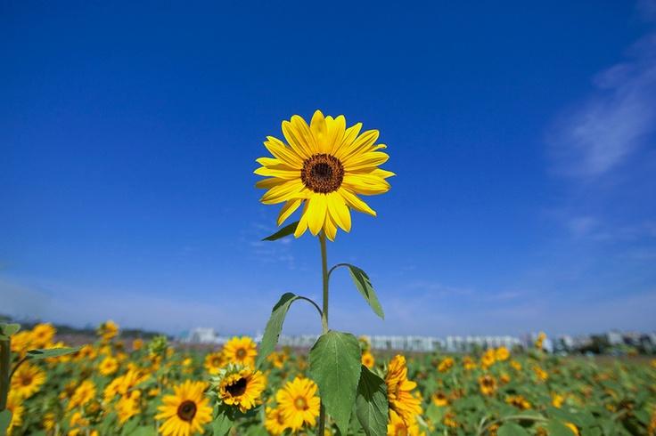 Sun flower by LEE INHWAN, via 500px