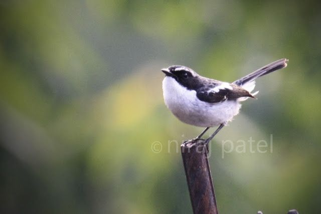 Nirajphotographer: Flycatcher series :: Little Pied Flycatcher