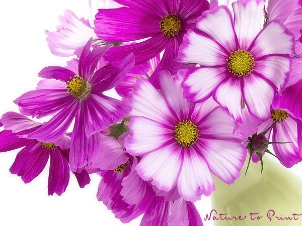Sommerblumen in hellen, heiteren Farben verjagen trübe Gedanken mit nur einem Blick. Cosmea, das rosa Schmuckkörbchen, sorgt sogar als Leinwandbild für ausnehmend gute Laune bei Ihnen Zuhause.
