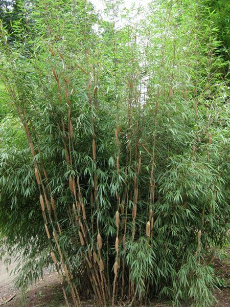 faq about growing and controlling bamboo - 450×600