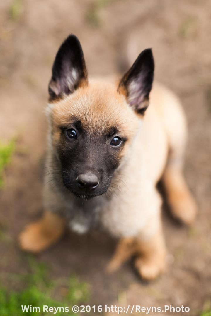 7 weeks old malinois puppy Zino sitting in the yard                                                                                                                                                                                 More