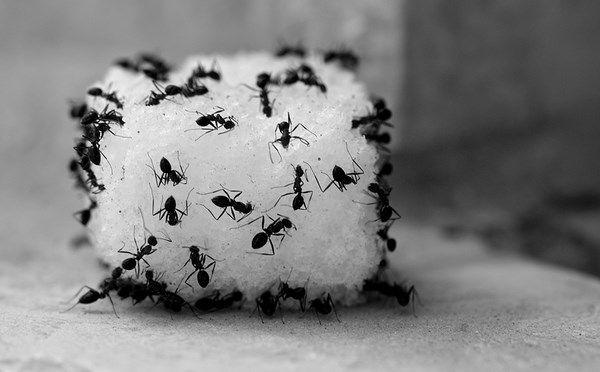 Wie Man Ameisen In Der Kuche Loswird Ungiftige Hausmittel Ameisen Loswerden Ameisen Toten Ameisen
