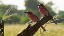 A pair of carmine bee-eaters in search insect prey. PHOTO BY BBC PLANET EARTH 2