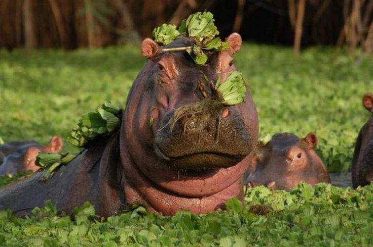 Hippos   (in camouflage)