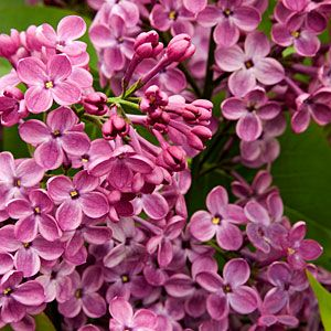 17 favorite fragrant blossoms   Lilac   Sunset.com