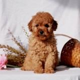 Cockapoo Puppy for Sale in Pennsylvania