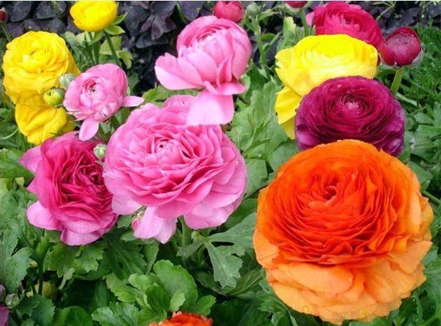 Уличные растения очень лёгкая декоративные семена лютик азиатский семян персидский сад бонсай своими руками для дома растения