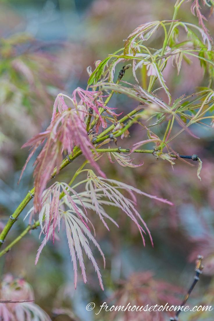 How to care for a fern leaf japanese maple - 10 Surprising Things About Growing Beautiful Japanese Maples