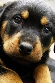 This Rottweiler puppy is so menacing I can hardly stand it. Fear the tiny wrath!