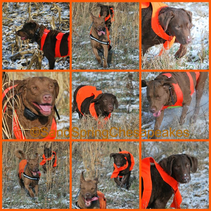 Pheasants Running And Fitness With A Family Member