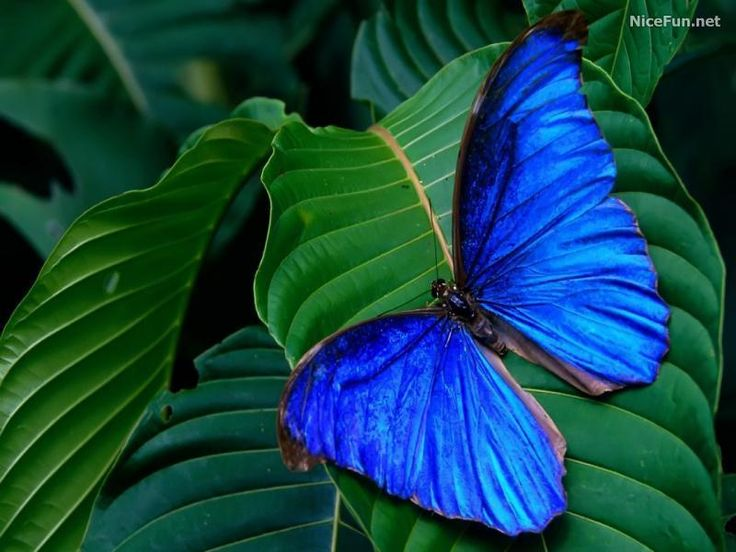 : Beautiful Butterflies, Blue Butterflies, Colors, Blue Green, Bluegreen, Costa Rica, Insects, Blue Morpho, Animal