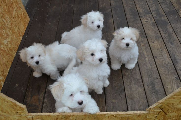 Image result for 8 week old coton de tulear