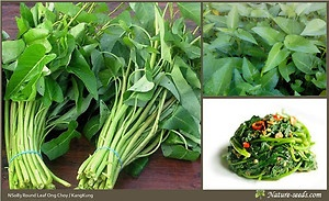 Rare Round Leaf Ong Choy / Water Spinach / Ipomoea aquatica    One of my favorite veggies