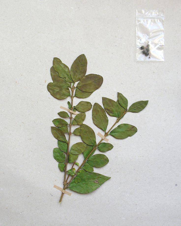 Ligustrum ovalifolium Oleaceae Lamiales