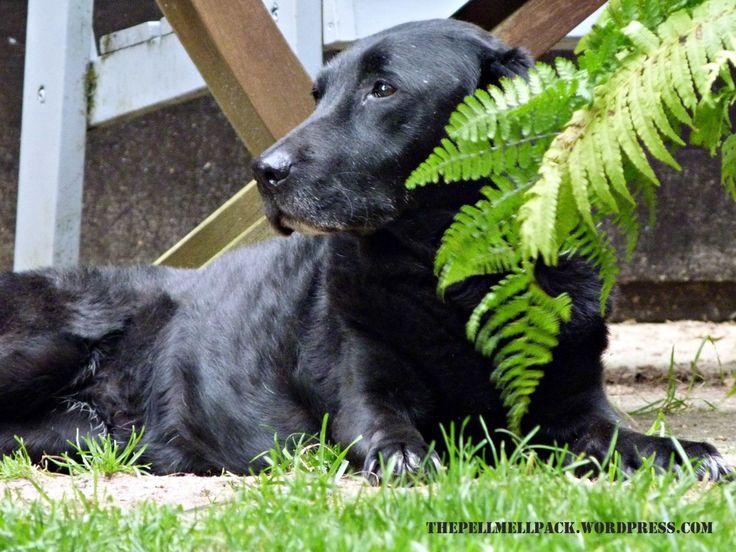 Neulich habe ich von Paulas Unfall berichtet. Infolge musste ihr mit nur 6 Monaten ein Oberschenkelkopf entfernt werden, sodass sie nur ein Hüftgelenk hat und das andere Bein durch Bänder und Muske… #hund #gesundheit