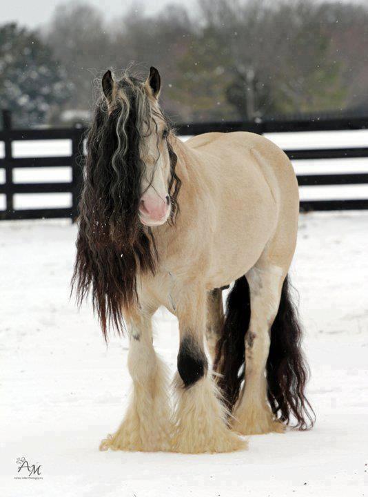 #horses  Gentle Spirit - a Gypsy Vanner Stallion- Taskin