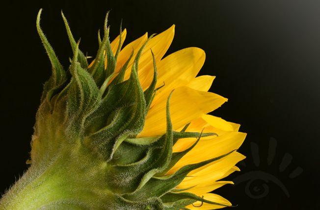 Zonnebloem. De zonnebloem (Helianthus annuus) bloeit van juli tot oktober. Een zonnebloem keert zich altijd naar het licht. Zelfs Vincent van Gogh heeft verschillende schilderijen getekend met zonnebloemen.  http://markrademaker.nl