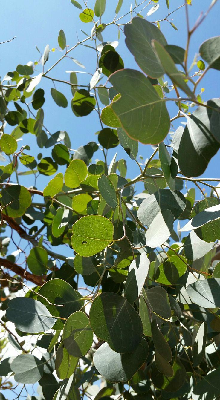 15 best Evergreen Trees images on Pinterest | Evergreen trees, Shrub ...