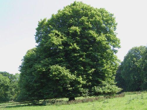 Гороскоп друидов дерево Липа     Зодиак кельтов. Люди рожденные под знаком Липы с 11 по 20 марта и с 13 по 22 сентября