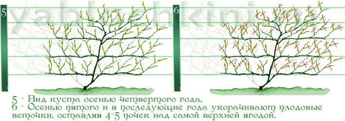 обрезка-актинидии-3
