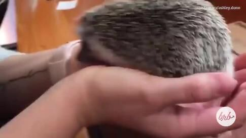 Enjoying A Latte And Playing With Hedgehogs at This Japan Cafe