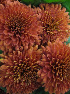 Brown Flowers | Brown Flowers, Chrysanthemums and Brown