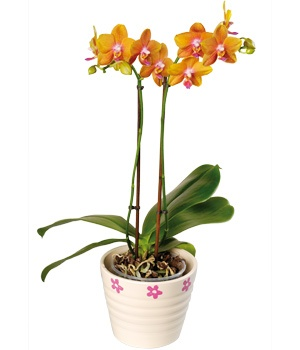 Orange Phalaenopsis (Moth) orchid